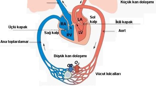 Büyük kan dolaşımı şeması
