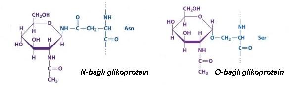 glikoprotein nedir