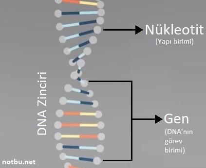 DNA'nın görev birimi